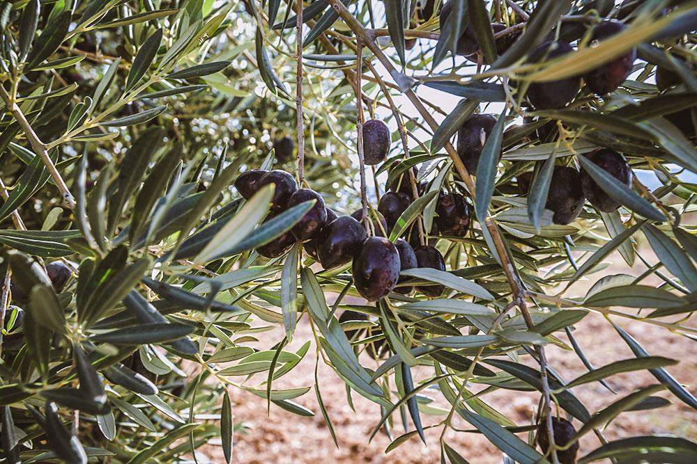 Abonado racional olivo