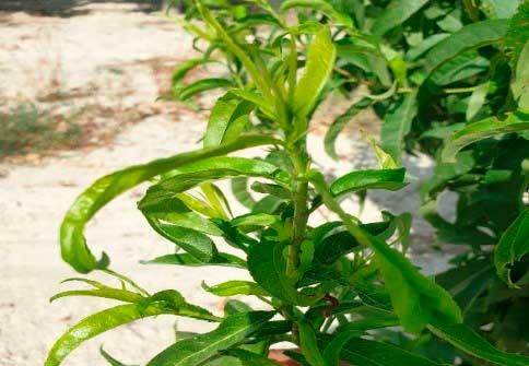 Mosquito verde frutales